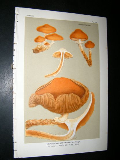 Cooke British Fungi 1880's Antique Mushroom Print. Agaricus Mutabilis 355 | Albion Prints